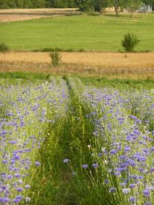 Notre champ de bleuet