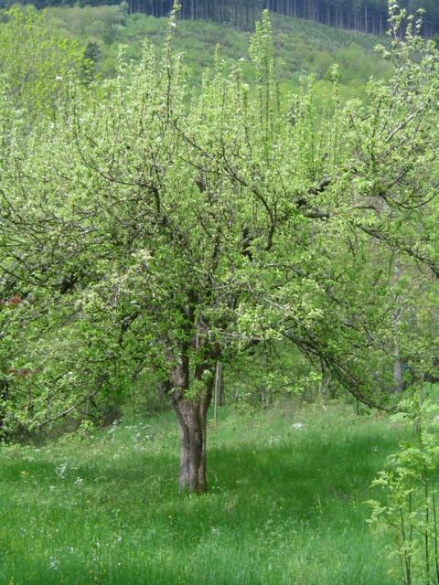 Pommier au printemps dans le verger de la ferme des Genêts, Arlebosc, Ardèche