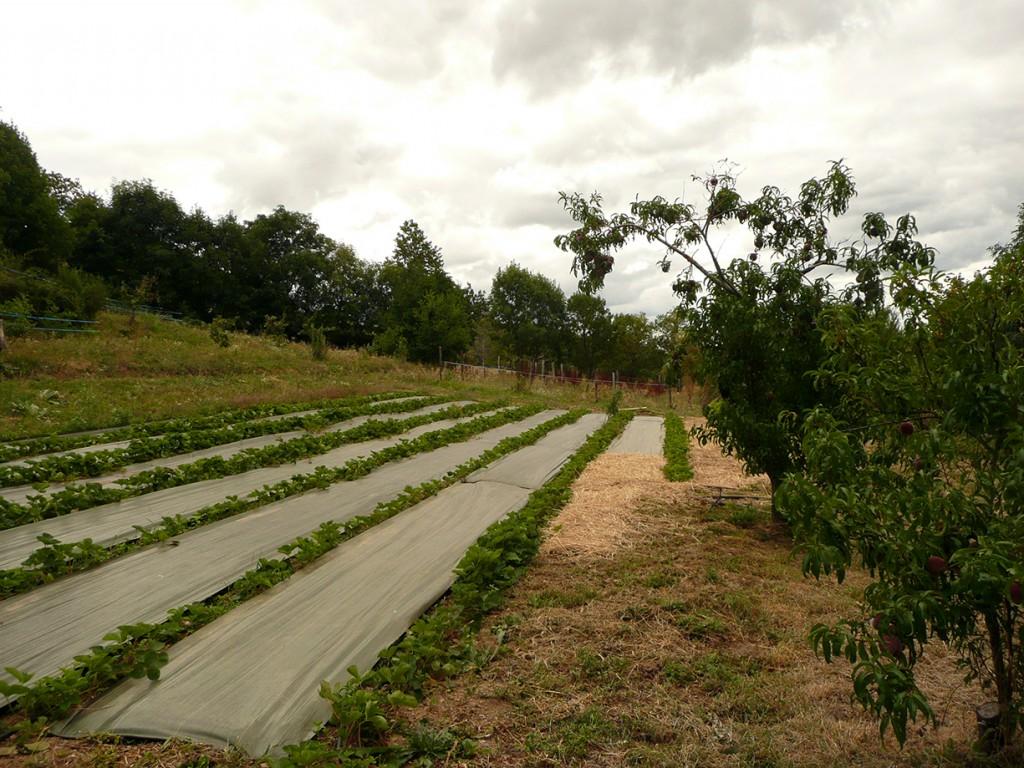 Fraisiers et arbres fruitiers à la Ferme des Genêts