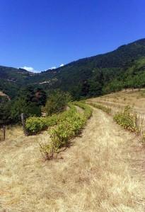 Plantations de groseilles issues de l'agriculture biologique à la ferme
