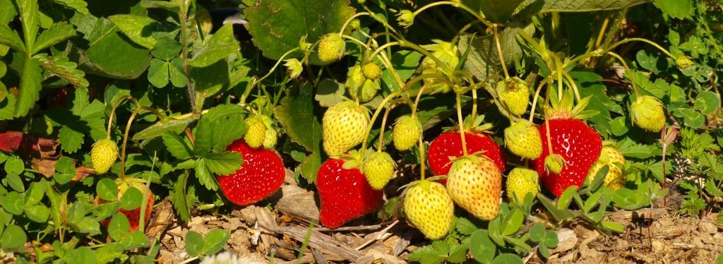 Plantations de fraisiers de La Ferme des Genêts
