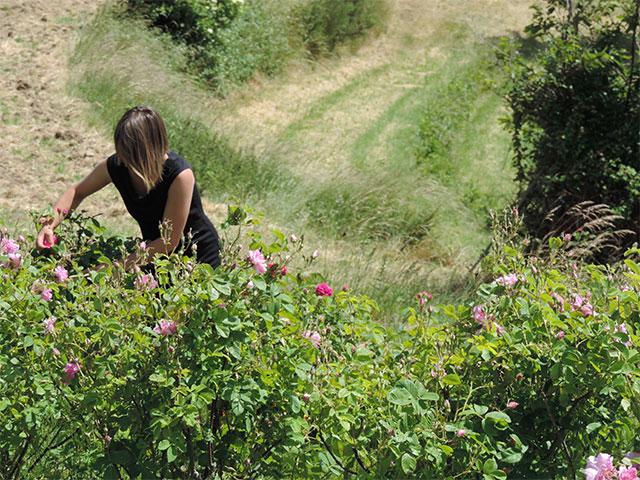 La récolte des roses à la Ferme des Genêts, à Arlebosc ,07410,Ardèche.