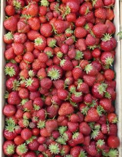 Plateau fraise