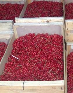 Groseille de la ferme des genêts à Arlebosc produite par Jonathan Villien